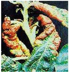 2.1.5 pav. Pilkojo obelinio amaro pažeisti lapai