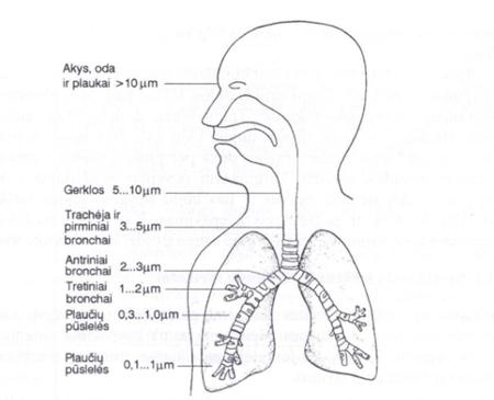 1 pav. Dalelių nusėdimas įvairiose kvėpavimo trakto vietose priklausomai nuo vidutinio dalelių dydžio