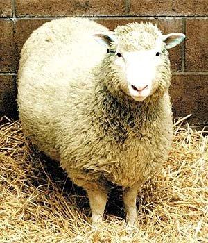 Pirmasis pasaulyje (2002m.) klonuotas gyvūnas - avis Dolly.