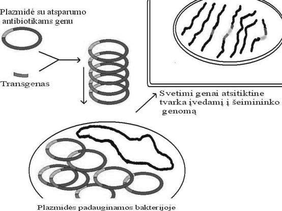 GMO gaminimo schemos pavyzdys