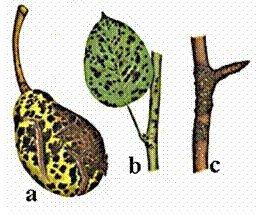1.2.1 pav. Kriaušių rauplės: a – ligos požymiai ant vaisiaus; b – ligos požymiai ant lapo; c – ligos;