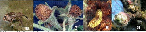 2.1.1 pav. Obelinio žiedgraužio: a – suaugėlis; b – pažeisti žiedpumpuriai; c – lerva; d – suaugėlių pažeistas pumpuras;